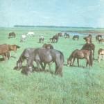 Развивается в колхозе и коневодство